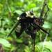 Mallophora orcina - Photo (c) Paul Bedell, osa oikeuksista pidätetään (CC BY-NC-SA)