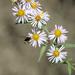 Symphyotrichum - Photo (c) Erica Fleniken, algunos derechos reservados (CC BY-NC)