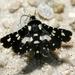 Pseudothyris sepulchralis - Photo (c) Patrick Coin, algunos derechos reservados (CC BY-NC-SA)