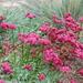 Eriogonum grande rubescens - Photo (c) FarOutFlora, algunos derechos reservados (CC BY-NC-ND)