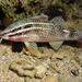 Parupeneus ciliatus - Photo (c) Patrick Randall, algunos derechos reservados (CC BY-NC-SA)