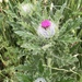 Short-styled Thistle - Photo (c) bhill, some rights reserved (CC BY-NC)