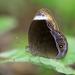 Mycalesis anaxias - Photo (c) Les Day, algunos derechos reservados (CC BY-NC)