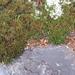 Selaginella tortipila - Photo (c) arleigh,  זכויות יוצרים חלקיות (CC BY-NC), uploaded by Arleigh Birchler