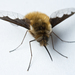 Greater Bee Fly - Photo (c) Anders Illum, some rights reserved (CC BY-NC-ND)