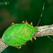 Chinche Verde de Borde Rojo - Photo (c) Eduardo Axel Recillas Bautista, algunos derechos reservados (CC BY-NC)