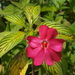 New Guinea Impatiens - Photo (c) David Gil, some rights reserved (CC BY-NC)