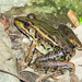 Northwest Mexico Leopard Frog - Photo (c) Cheryl Harleston López Espino, some rights reserved (CC BY-NC-ND)