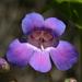 Penstemon spectabilis - Photo (c) Philip Bouchard, algunos derechos reservados (CC BY-NC-ND)
