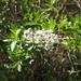 Ceanothus spinosus - Photo (c) Michael Daines,  זכויות יוצרים חלקיות (CC BY-NC-SA)
