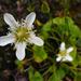 Parnassia fimbriata - Photo (c) J.R.M., algunos derechos reservados (CC BY-NC-SA)