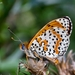 Spotted Fritillary - Photo (c) Marcello Consolo, some rights reserved (CC BY-NC-SA)
