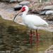 White Ibis - Photo (c) fabiomanfredini, some rights reserved (CC BY-NC)