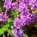 Selago villicaulis - Photo (c) Phyllida Louw, algunos derechos reservados (CC BY-NC)