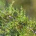 Cupressus forbesii - Photo (c) BJ Stacey, osa oikeuksista pidätetään (CC BY-NC)