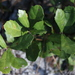 Dwarf Live Oak - Photo (c) Joshua Doby, some rights reserved (CC BY-NC)