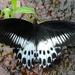 Papilio polymnestor - Photo (c) Vishal Bhave,  זכויות יוצרים חלקיות (CC BY-NC-SA), uploaded by Vishals_Lab