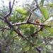 Cephalanthus salicifolius - Photo (c) LauraReginaAC, osa oikeuksista pidätetään (CC BY-NC)