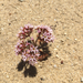 Chorizanthe fimbriata fimbriata - Photo (c) madge, algunos derechos reservados (CC BY-NC)
