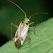 Alfalfa Plant Bug - Photo (c) salvatore_infanti, some rights reserved (CC BY-NC)