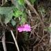 Primula listeri - Photo (c) Phuentsho, algunos derechos reservados (CC BY-NC-SA)