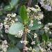 Ceanothus oliganthus - Photo (c) Damon Tighe,  זכויות יוצרים חלקיות (CC BY-NC)