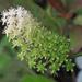 Amianthium muscitoxicum - Photo (c) Annkatrin Rose, alguns direitos reservados (CC BY-NC-SA)