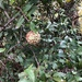 Landolphia parvifolia - Photo (c) gbroekhuizen, algunos derechos reservados (CC BY-NC)