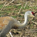 Sandhill Crane - Photo (c) Charlotte Bill, some rights reserved (CC BY-NC)