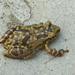 Snouted Tree Frogs - Photo (c) Alex Popovkin, some rights reserved (CC BY-NC-ND), uploaded by russiannaturalistbrazil