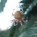 Araneus gemma - Photo (c) stonebird,  זכויות יוצרים חלקיות (CC BY-NC-SA)