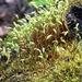 Amblystegium serpens - Photo (c) Jason Grant,  זכויות יוצרים חלקיות (CC BY)