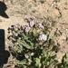 Phacelia neomexicana - Photo (c) billschrandt,  זכויות יוצרים חלקיות (CC BY-NC)