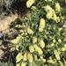 Senegalia greggii - Photo (c) sstevenson47, μερικά δικαιώματα διατηρούνται (CC BY-NC)