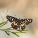 Red-spotted Patch - Photo (c) Carlos G Velazco-Macias, some rights reserved (CC BY-NC)