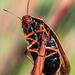 Aptera fusca - Photo (c) magriet b, μερικά δικαιώματα διατηρούνται (CC BY-SA)