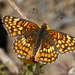 Gabb's Checkerspot - Photo (c) dlbowls, some rights reserved (CC BY-NC)