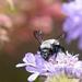 Epiclopus gayi - Photo (c) pedro vargas, algunos derechos reservados (CC BY-NC)