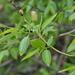 Salix euxina - Photo (c) Nikolay Panasenko, algunos derechos reservados (CC BY-NC)