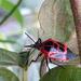 Oplomus catena - Photo (c) Edson Gasperin, alguns direitos reservados (CC BY-NC)