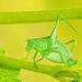 Anisophya - Photo (c) pedro vargas, algunos derechos reservados (CC BY-NC)