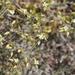 Cerastium pumilum glutinosum - Photo (c) cambala, algunos derechos reservados (CC BY-NC)