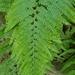 Microlepia strigosa - Photo (c) 艾草,  זכויות יוצרים חלקיות (CC BY-NC)
