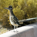 Greater Roadrunner - Photo (c) Juan Zamora, some rights reserved (CC BY)