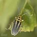Trirhabda bacharidis - Photo (c) Robert Lord Zimlich,  זכויות יוצרים חלקיות (CC BY-NC)
