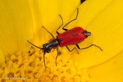 מלכית אדומה - Photo (c) sandralamberts,  זכויות יוצרים חלקיות (CC BY-NC)
