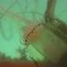 Polyorchis penicillatus - Photo (c) Ken-ichi Ueda, algunos derechos reservados (CC BY)