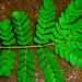 Guaje de Zope - Photo (c) Daniel H. Janzen. Guanacaste Dry Forest Conservation Fund., algunos derechos reservados (CC BY-NC-SA)