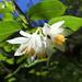 Styracaceae - Photo (c) sunnyshades13, osa oikeuksista pidätetään (CC BY-NC)
