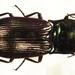 Selatosomus aeneus - Photo Siga, sin restricciones conocidas de derechos (dominio público)